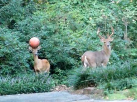 Deer with basketball stuck in antlers